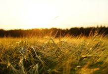 Ochrona zbóż ozimych